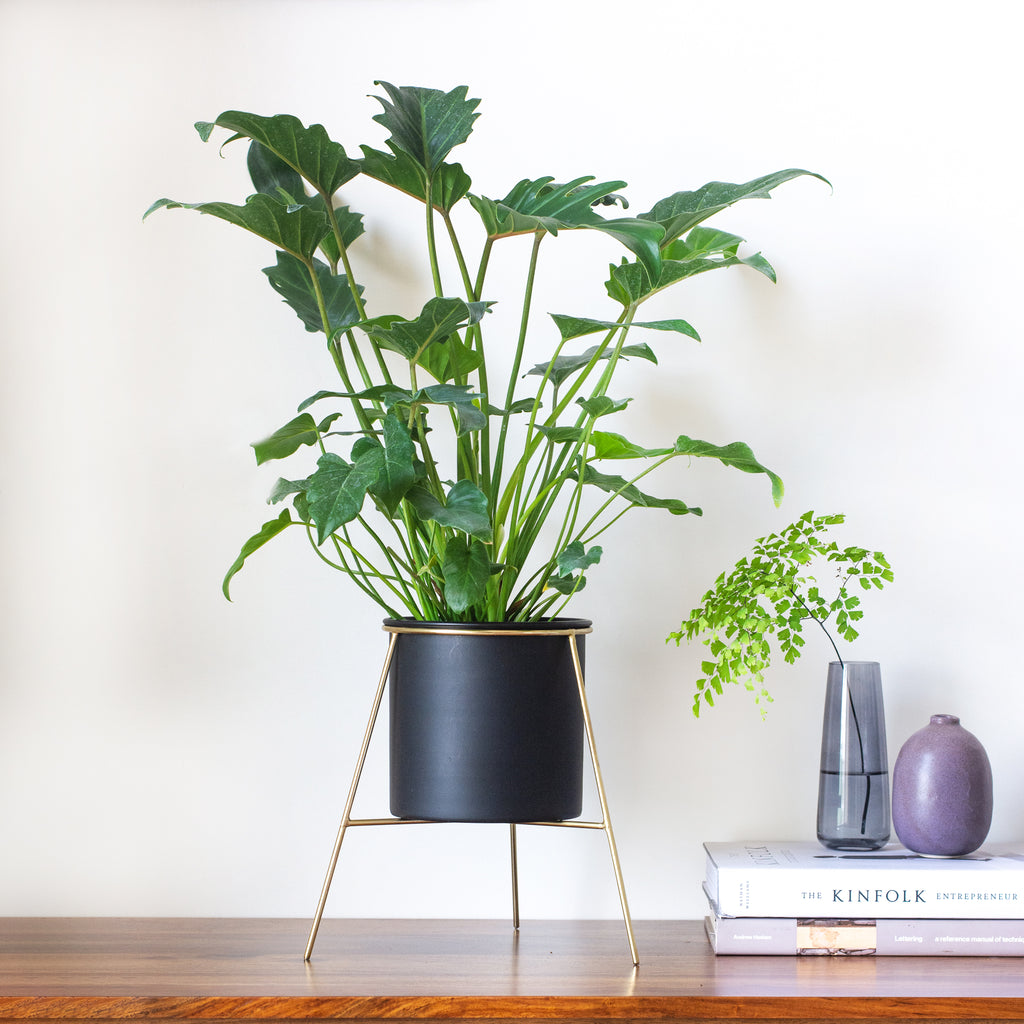 Noir black Planter with gold stand & philodendron xanadu in it