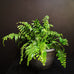 Macho Fern / Nephrolepis biserrata