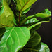 Ficus lerata (Fiddle leaf)