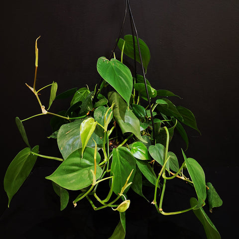 Philodendron Scandens / Heartleaf
