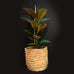 Ficus Burgundy / Rubber Tree