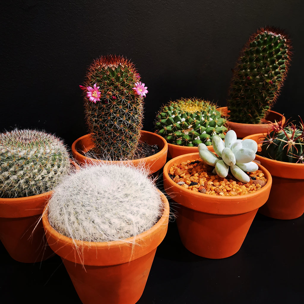 Assorted Cacti in terracotta