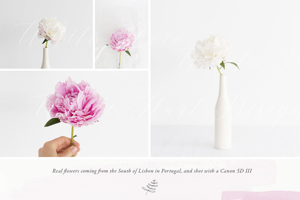 Peonies stock photo Bundle