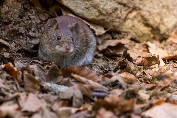 The Steps to take to stop Rodent Infestation