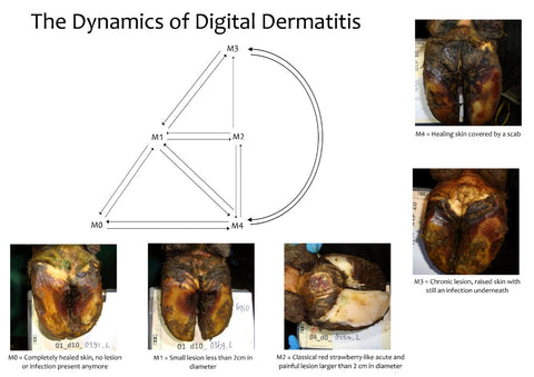 Dynamics of Digital Dermatitis | Dairy Hoof Care | Lameness in Cows
