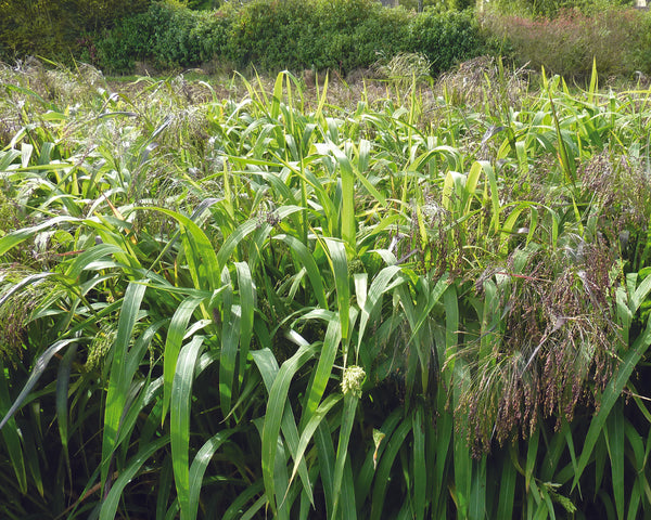 Ambush Millet Game Cover Crop