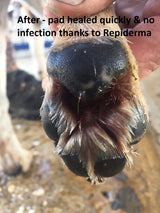 dog paw after treatment with repiderma