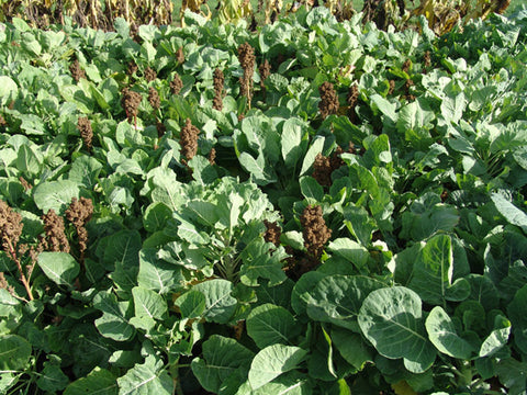 Overdrive Quinoa & Kale Game Cover Crop