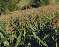 Rapid Fire Maize Cover Crop