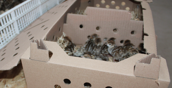 Cardboard transport boxes for chicks. The box can be split into two compartments and is suitable for day old chicks including partridges and pheasant chicks.