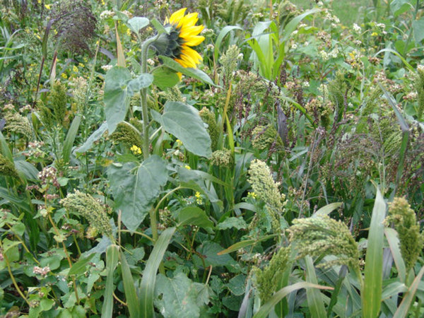 Traditional Game Cover Crop Mix
