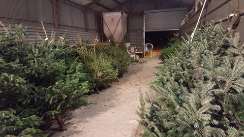 christmas trees are ready