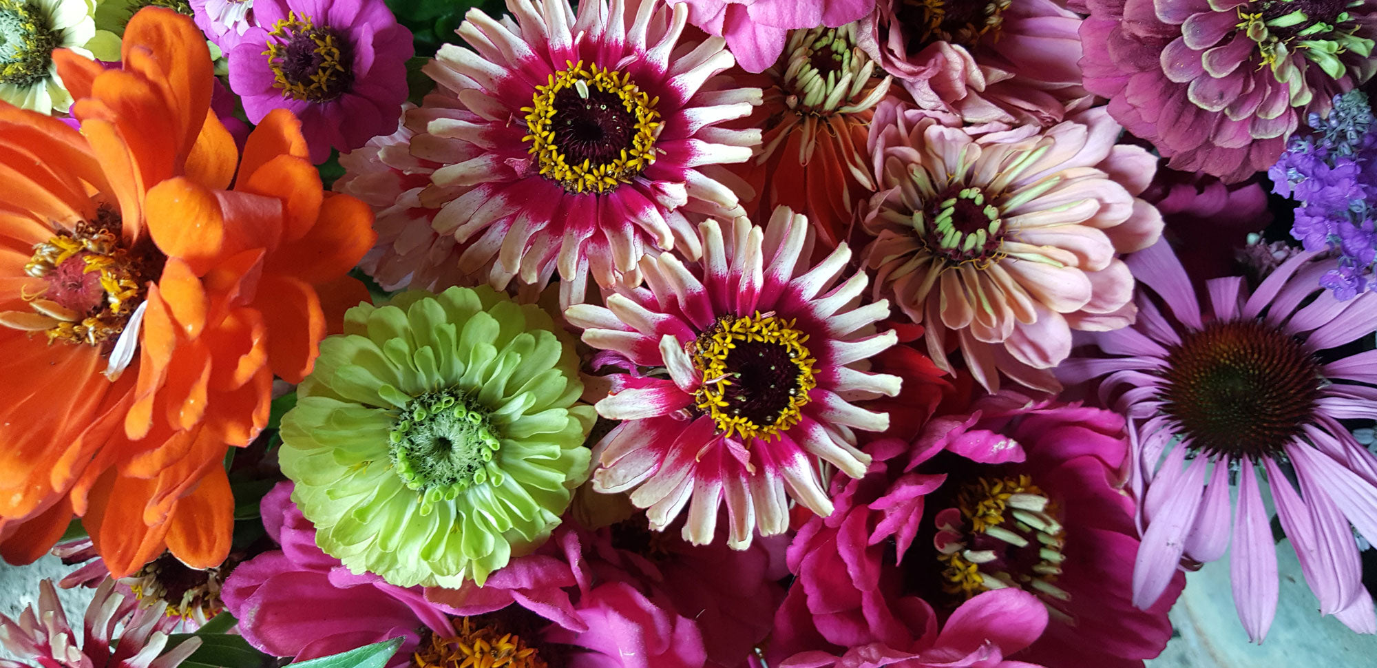 vibrant coloured dahlias