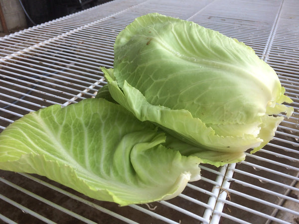 Cabbage, Wakefield