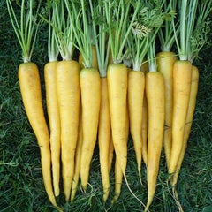 Yellow Bunch Carrots
