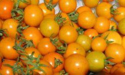 Sun Gold Cherry Tomatoes Large