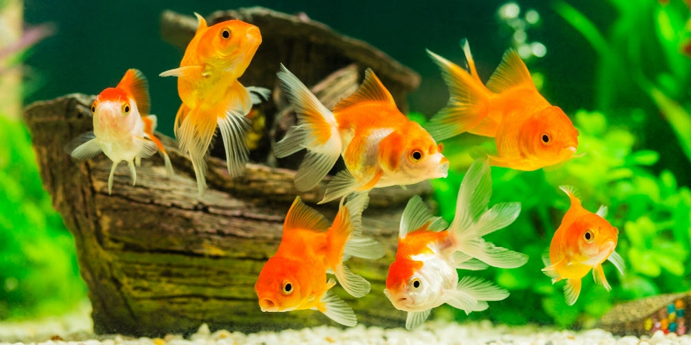 Best Freshwater Aquarium Fishes for Beginners