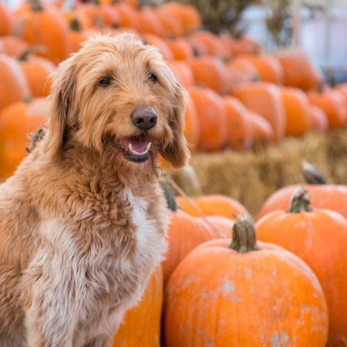 Benefits Of Pumpkin In Your Dogs Treats And Foods