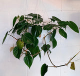 Philodendron Scandens - Heart Leaf or Sweet Heart Plant