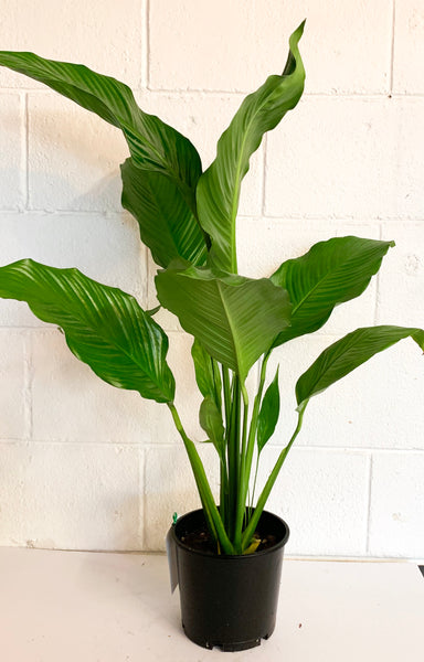 Large Giant Piece lily - (Spathiphyllum)