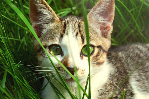 Kitten in Grass Wheatgrass