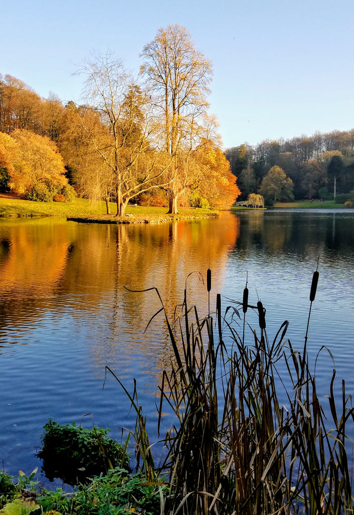 Bullrush at Stourhead Gardens in Autumn