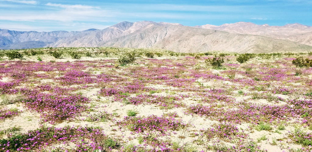 Flowers Blooming in Anza Borrego State Park near SR22
