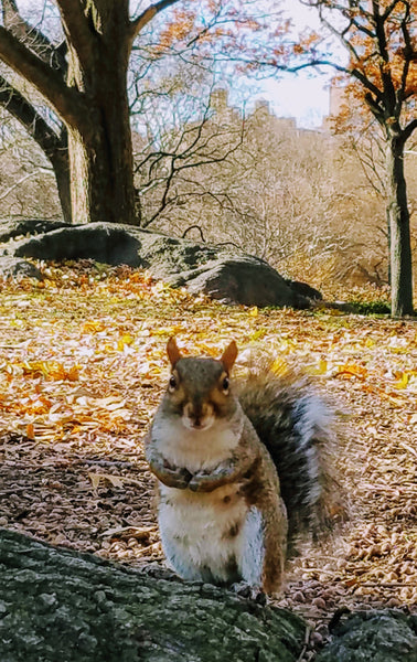 Squirrel in Central Park, New York City.