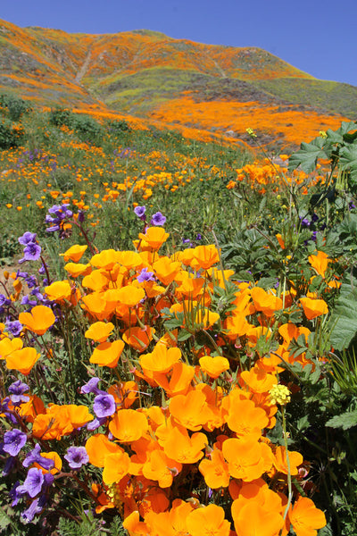 The Incredible Wildflower Displays at Walker Canyon, nr. Lake Elsinore, California