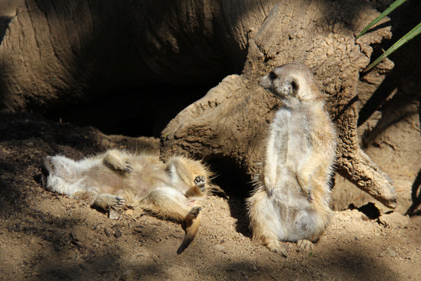 Meerkats Playing at the San Diego Wild Animal Park