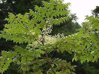 Aralia / Spikenards: Increasingly Popular Houseplants