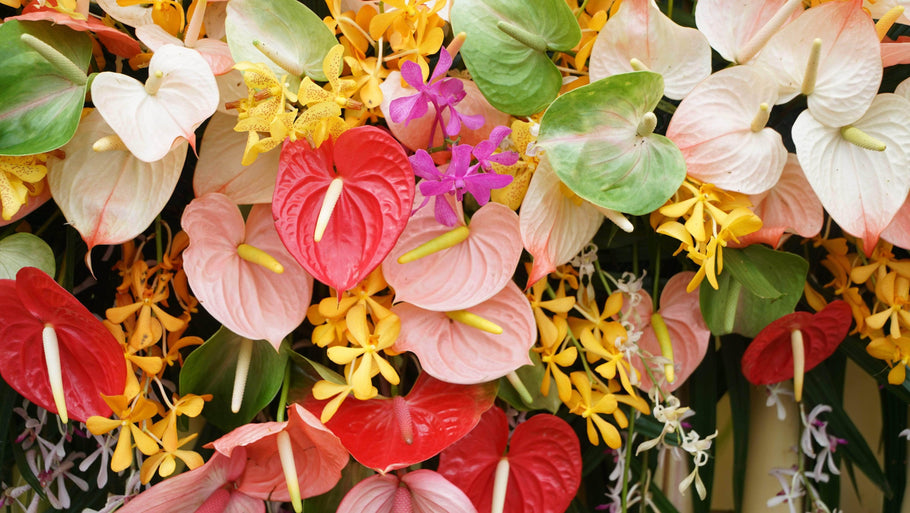 Growing and Caring for Anthuriums: 7 Essential Things You Need to Know