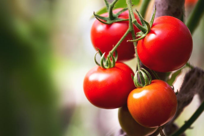 Growing Tomatoes - How to Plant Tomatoes