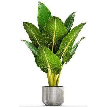 Growing Alocasia: Learn How to Grow and Care for 'Elephant Ears'