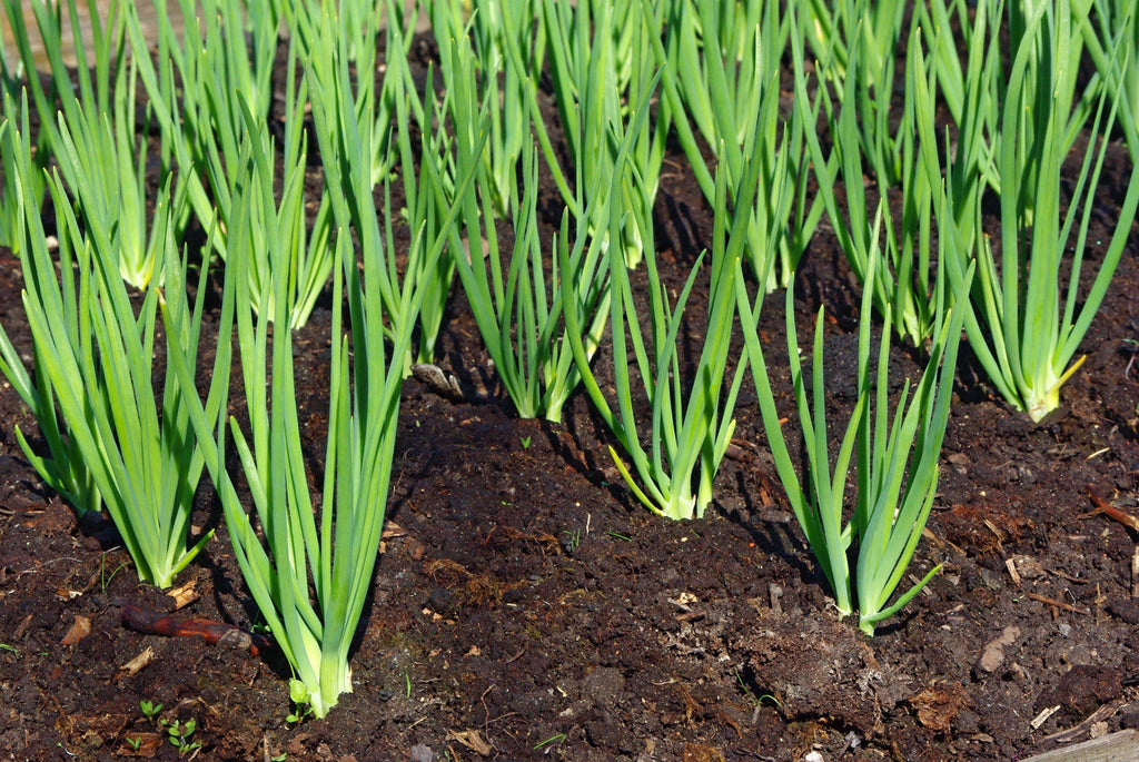 The Incredible Onion - How to Plant Onions at Home