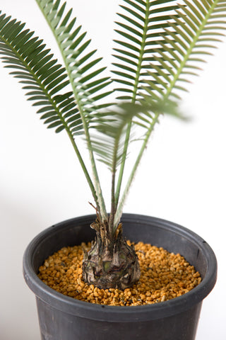 A Potted Cycad Houseplant