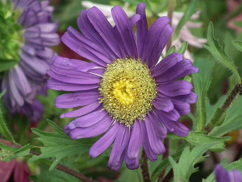 A Purple China Aster Flower