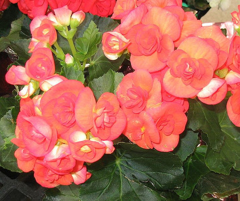 Beautiful Pink-Orange Begonia Flowers