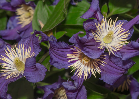 Blue-Purple Clematis Flowers with Creamy White Stamens