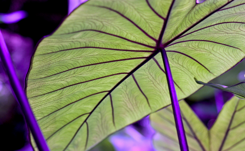 Heart-Shaped Alocasia Leaf with Purple Veins and Stem