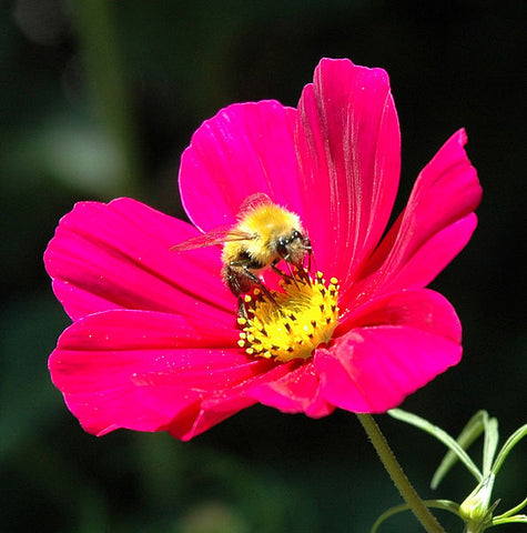 Honey Bee Pollinating a Cosmos Flower