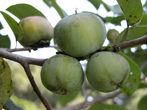 American Persimmon Fruits