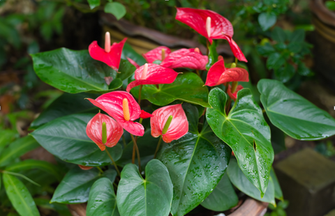 Pink Anthurium Flowers