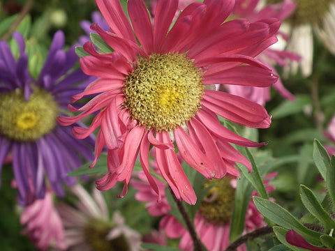 Pink Aster China Flower