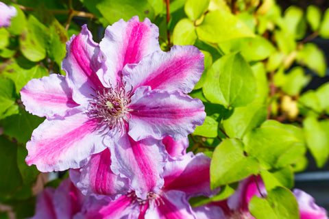Pink-Purple Clematis Flowers