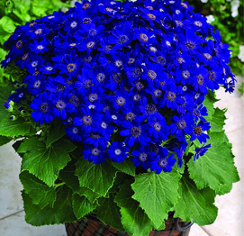 Potted Cineraria Plant