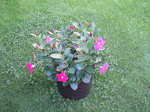 Potted Dipladenia Plant