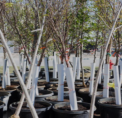 Trees Ready for Transplanting