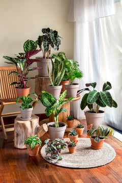 A Group of Different Alocasia Plants Varieties Indoors