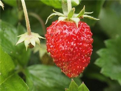 Green Valley Supply Seeds Alexandria Alpine Strawberry (75 seeds)